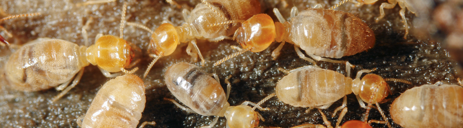 https://backbaypest.com/wp-content/uploads/2015/12/termite-1.jpg