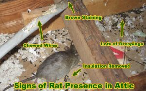Signs of rat presence in attic